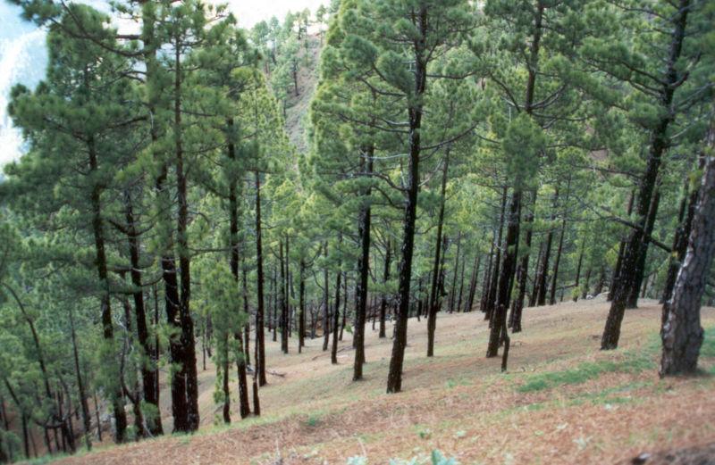 vastedad-de-pinos